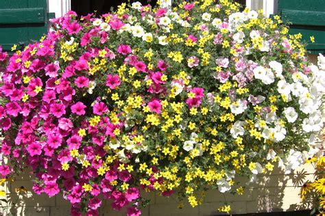 Hängende Blumen Für Balkonkästen by Balkonblumen Petunien H 228 Ngend Gartenfans