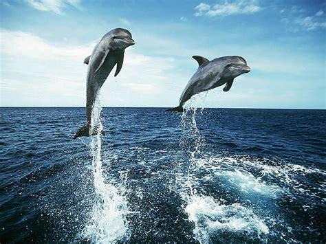 imagenes animales en alta definicion imagen delfines saltando
