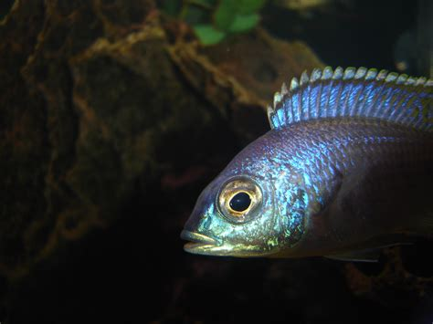 Cichlidscom Name That Fish
