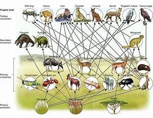 African Savanna Food Web Gallery