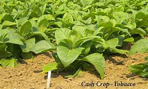 Cash Crops log: The History of Cash Crop Tobacco