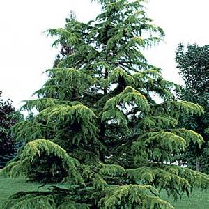 Types Of Christmas Trees In California by Discover Life Trees Of Virginia United States Deodar Cedar