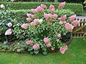 Hydrangea Paniculata Schneiden : neue hortensien rispenhortensien schneiden oder nicht ~ Lizthompson.info Haus und Dekorationen