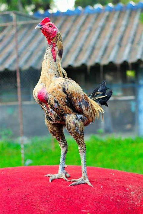 มาดู 5 อันดับไก่ชนเงินล้าน ไก่ชนที่แพงที่สุด ในประเทศไทย