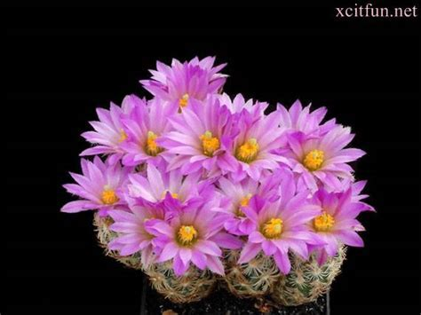 Most beautiful cactus flowers    XciteFun.net