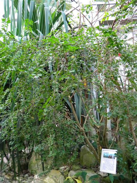 Botanischer Garten Bonn Patenschaft hibiskus grandidieri garten und fuchsienfreunde