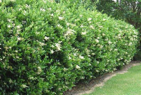 privet hedge ligustrum ponseti landscaping