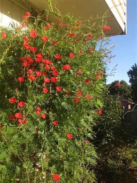 cardinal climber cardinal climber i love gardening pinterest