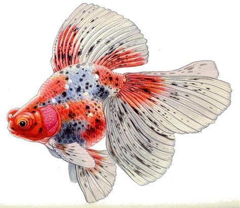long double tails archives  goldfish council