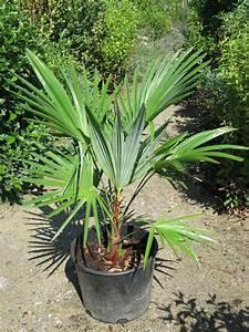 Trachycarpus Fortunei Auspflanzen : trachycarpus wagnerianus x fortunei internetplattform und online shop f r ~ Eleganceandgraceweddings.com Haus und Dekorationen