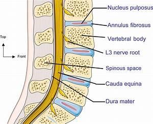 A Sagittal Section Of The Human Lumbar Spine