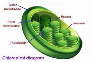 10 Facts About Chloroplast