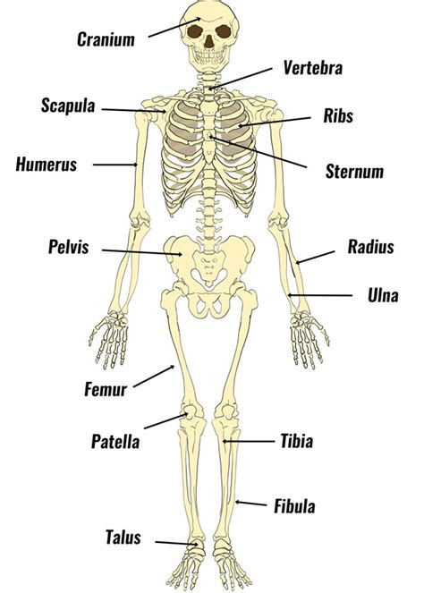 Basic Bone Diagram by The Human Skeleton Bones Structure Function Teachpe