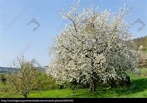 Baum Mit Blüten : baum obstbaum kirschbaum mit wei en bl ten auf einer lizenzfreies foto 9291492 ~ Frokenaadalensverden.com Haus und Dekorationen