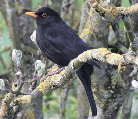 blackbird facts blackbird information twootz com