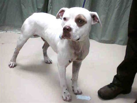 white red nose  red eye patch male pit bull solid