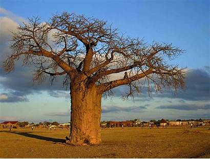 South African Tourism Africa Baobab Limpopo