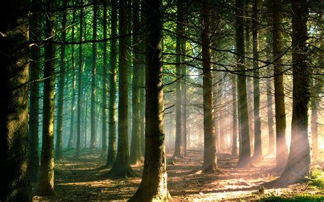 wallpaper trees forest wallpapersafari