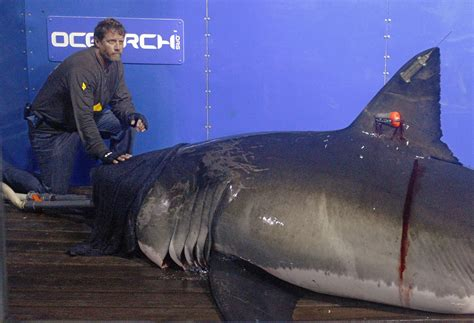 Great White Shark Mary Lee Becomes Twitter Star While