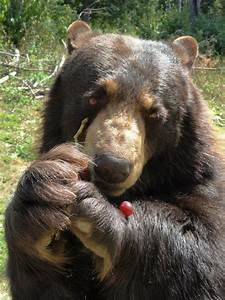 Black Bears Eating Honey
