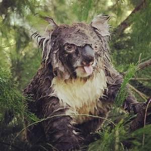 Angry wet koala. Ha. | Diversifive | Pinterest | Koalas