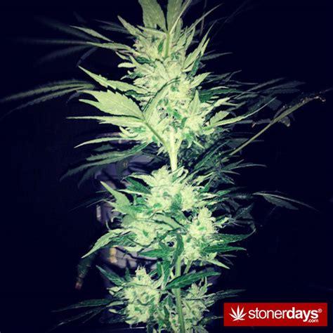 stoners peace  love stoner pictures marijuana