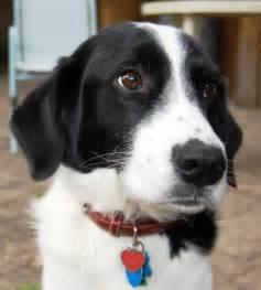 Border Collie Spaniel Mix Puppies