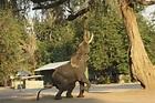 心碎!非洲生態浩劫:逾350頭大象離奇暴斃 水坑邊繞圈踱步驟然倒地......波札那當局尚未釐清死因-風傳媒