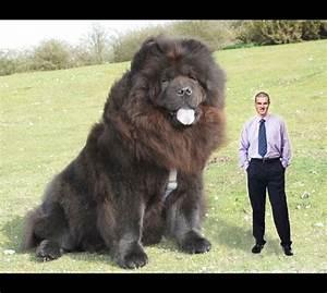 Power lifter John Flynn with his English mastiff Hercules ...