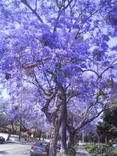 jacaranda tree images  pinterest