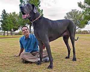 Dog-Giant