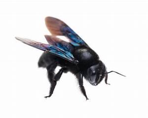 Schwarze Wespe Deutschland : die schwarze hornisse ist eigentlich eine holzbiene ~ Whattoseeinmadrid.com Haus und Dekorationen