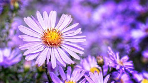 Aster September Birth Flower Blossom Plant Flower Purple Petal Bloom 4k Ultra Hd Desktop ...