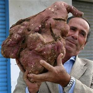 Canis Lupus: World's biggest potato!!! (Questionable.)