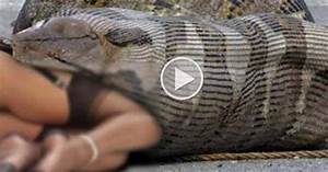 python snake eating people python snake eating people ...