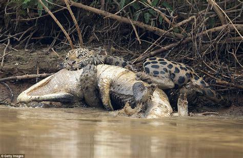 Jaguar Vs Caiman by Jaguar Ambushes A Caiman And Kills It In Brazil