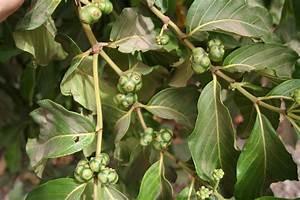 File:Morinda geminata MS 4700.JPG - Wikimedia Commons Morinda