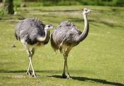 Rhea | bird group | Britannica