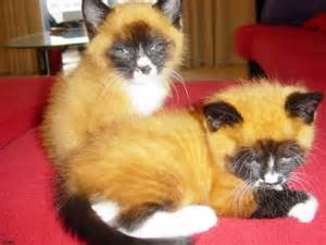 is a fox a or cat types of siamese cats orange siamese cat home inpsired