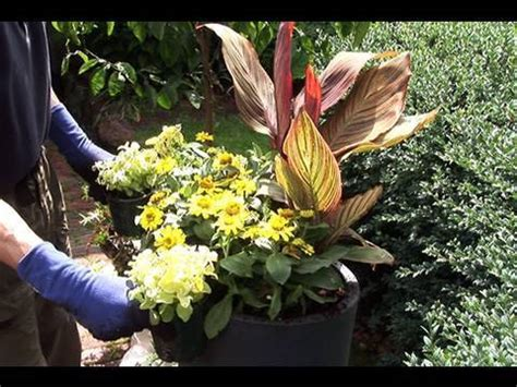 planting canna quot tropicanna quot in containers