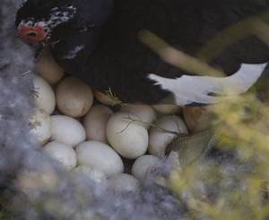 Muscovy Duck and Nest of Eggs | ClipPix ETC: Educational ...