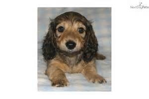 Long Haired Cream Dachshund Puppies