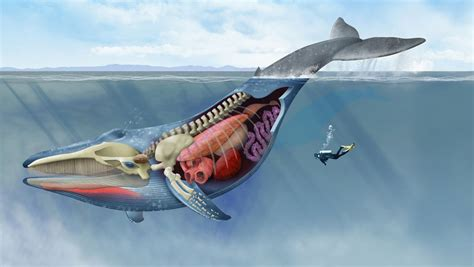 The record-setting anatomy of the blue whale: a look ...