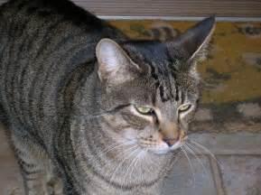 tabby cat file tabby cat jpg