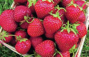 Strawberry Seeds and Plants - Urban Farmer