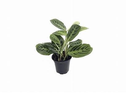 Prayer Plant Maranta Plants Lemon Care Leaves