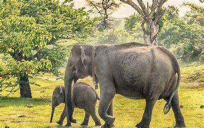 Wallpapers Sri Lanka Elephant Desktop Animals Cubs