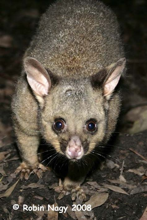 tailed opossum 29 best images about opossum on pinterest virginia ecuador and mice
