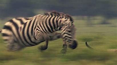 Zebra Gifs Cheetah Motion Animals Animal Wild