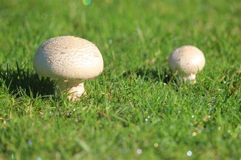 Große Weiße Pilze Im Garten by Pilze Im Rasen 187 Vorbeugen Und Bek 228 Mpfen